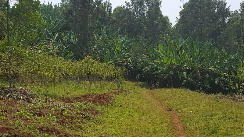 La manioca e le bananiere